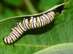 Monarch Caterpillar in Illinois